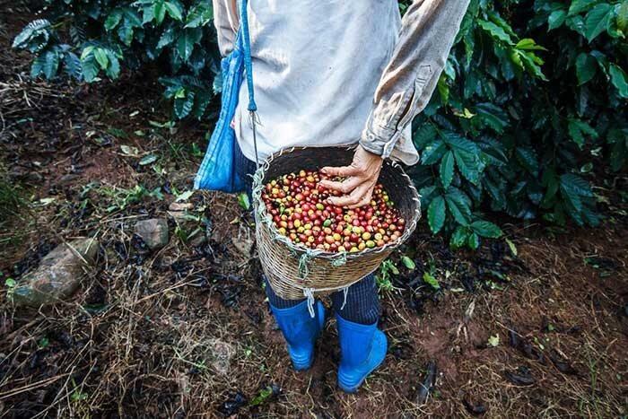 کشاورز درحال چیدن دانه قهوه به صورت محصوص یا همان قهوه اسپشیال
